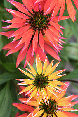 Echinacea Orange Passion Flowers Poster