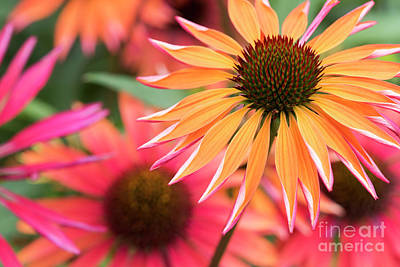 Echinacea Orange Passion Poster