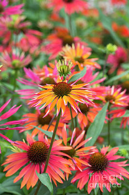 Echinacea Purpurea Orange Passion Poster