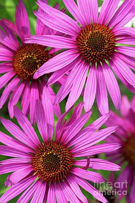 Echinacea Purpurea Rubinstern Flowers  Poster
