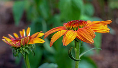 Echinacea Side View Poster