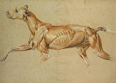 Ecorche Drawing Of A Whippet  Poster by Edwin Landseer