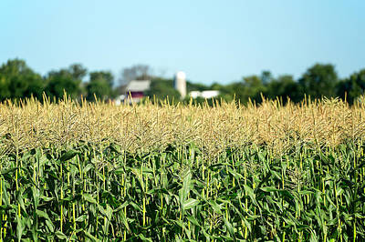 Edge Of Field Of Corn Poster