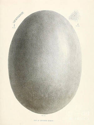 Egg Of Dinornis, Giant Moa, Cenozoic Poster by Biodiversity Heritage Library