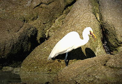 Egret Eating His Catch Poster by Joyce Dickens