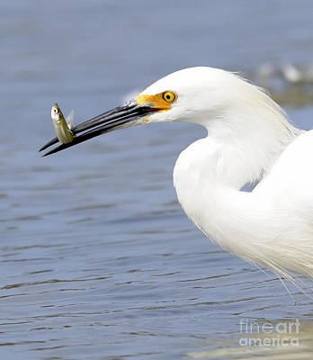 Egret Eating Poster
