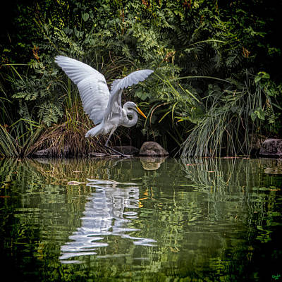 Egret Hunting For Lunch Poster
