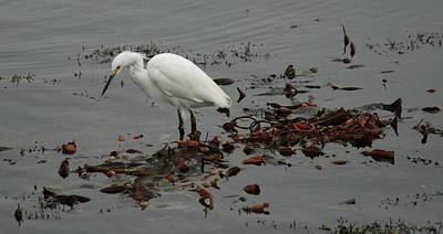 Egret On Seaweed Raft Poster