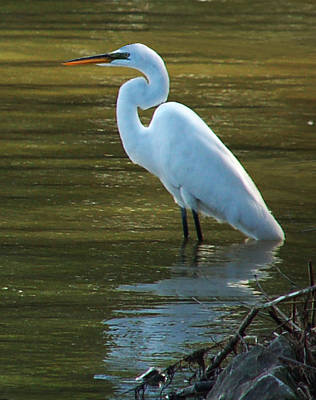 Poster featuring the photograph Egret Resting by Kathleen Stephens