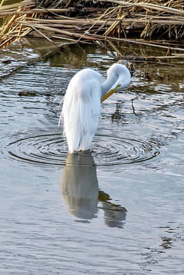 Egret Standing In A Stream Preening Poster