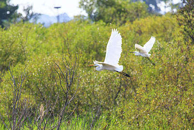 Poster featuring the photograph Egrets In Flight by Jennifer Casey