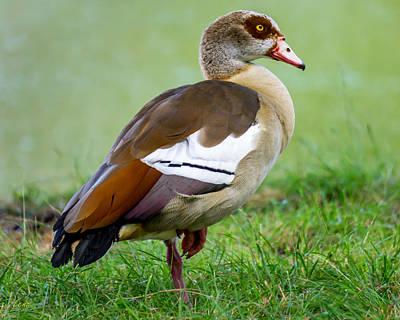 Egyptian Goose Poster