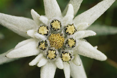 Eidelweiss Flower, Symbol Poster by Norbert Rosing