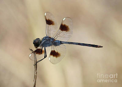 Elegant Dragonfly In The Marsh Poster by Carol Groenen
