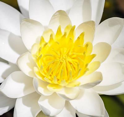 Elegant Lotus Poster
