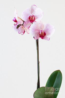 Elegant Orchid Poster by Anita Oakley