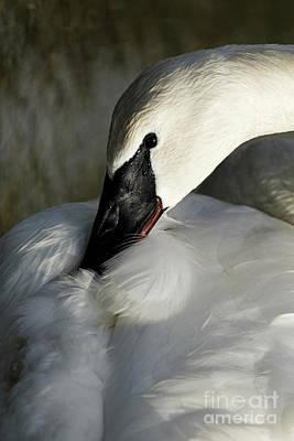 Elegant Trumpeter Swan Poster