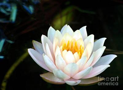 Elegant White Water Lily Poster