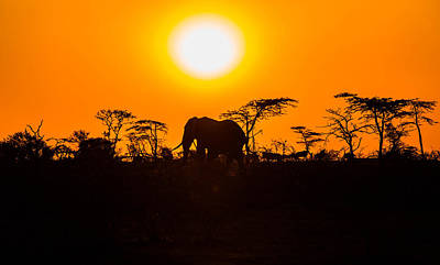Elephant At Sunset Poster