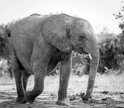 Elephant Baby Calf In Wild Black And White Poster