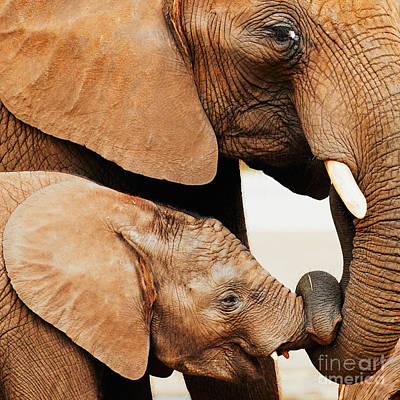 Elephant Calf And Mother Close Together Poster