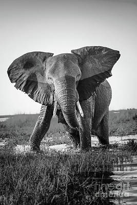 Elephant Charging Black And White Poster