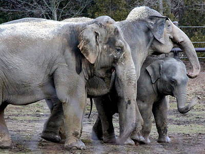 Elephant Family Poster by Laurel Talabere