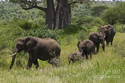 Elephant Family Tarangire Np Poster by Craig Lovell