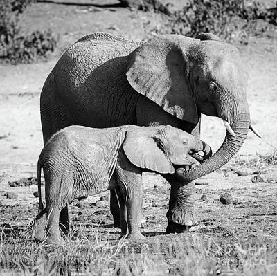 Elephant Parent With Calf Black And White Poster