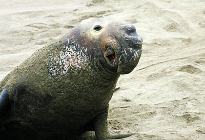 Poster featuring the photograph Elephant Seal by Anthony Jones