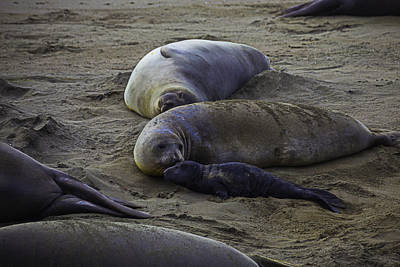 Elephant Seal Mom And Pup Poster by Garry Gay
