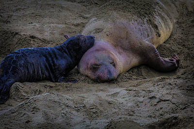 Elephant Seals Mom And Pup Poster by Garry Gay