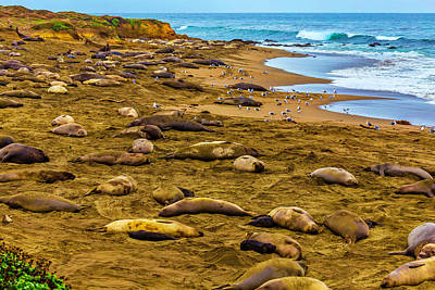 Elephant Seals Near Cambria  Poster by Garry Gay