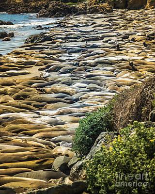 Elephant Seals Pierdras Blancas Poster