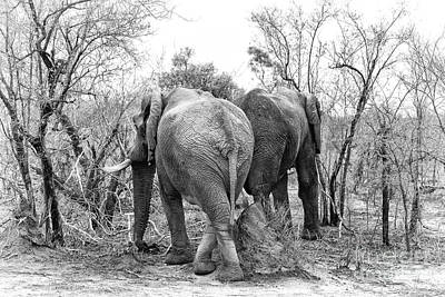 Elephants Black And White Poster