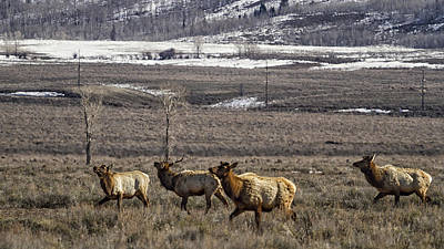 Elk At Gros Ventre No. 2 Poster by Belinda Greb