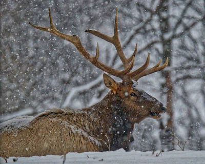 Elk Enjoying The Snow Poster by Michael Peychich