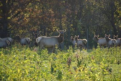 Elk Herd I See You Camera Man Poster