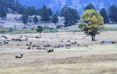 Elk Herd In Colorado Poster by Dan Sproul