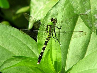 Poster featuring the photograph Emerald Dragonfly by David Dunham