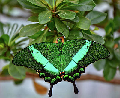 Emerald Swallowtail Butterfly Poster by Ronda Ryan