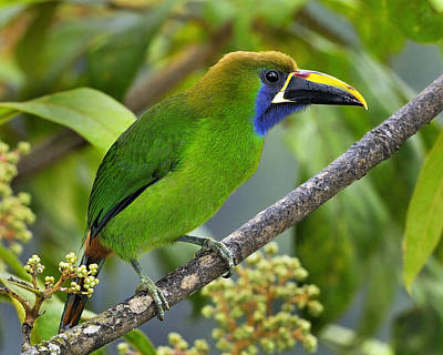 Emerald Toucanet Poster by Tony Beck