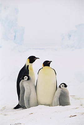 Emperor Penguin Aptenodytes Forsteri Poster by Konrad Wothe