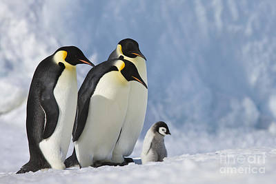 Emperor Penguins Watching A Chick Poster by Jean-Louis Klein & Marie-Luce Hubert