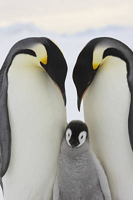 Emperor Penguins With Young Chick Poster by Sue Flood