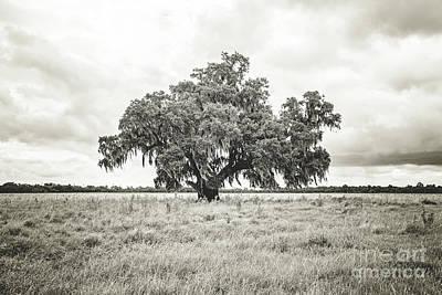 Enchanted  Oak - Sepia Toned Poster
