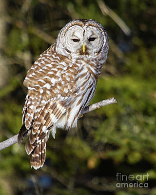 Enchanting Barred Owl Poster