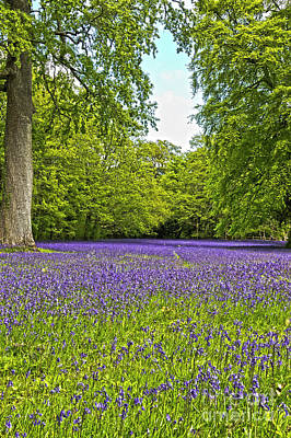 English Bluebells Poster