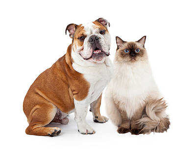 English Bulldog And Ragdoll Cat Sitting Together Poster