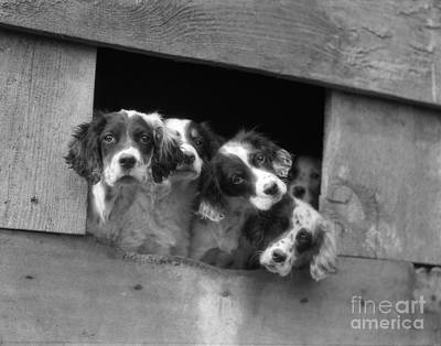 English Setter Puppies, C.1920-30s Poster by H. Armstrong Roberts/ClassicStock